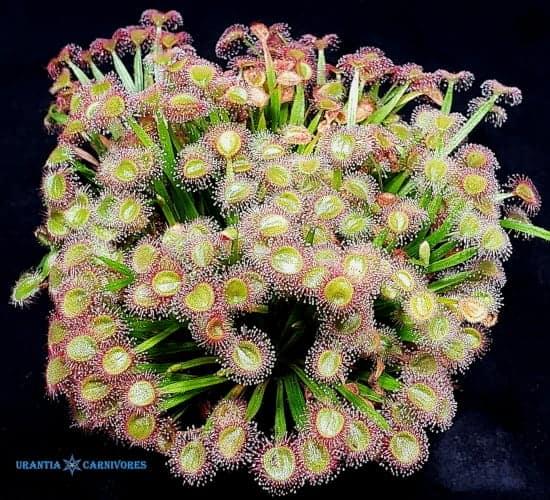 Drosera petiolaris x darwinensis Cover