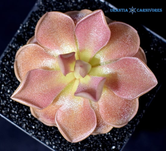 Pinguicula Weser (4) Cover