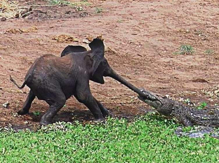 elephant alligator