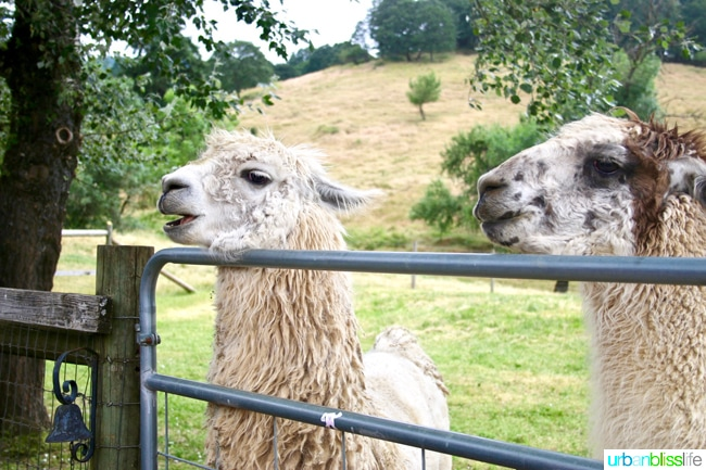 Llamas at Rain Dance Vineyards in Oregon Wine Country on UrbanBlissLife.com
