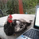 Silver Laced Wyandotte curious about computer