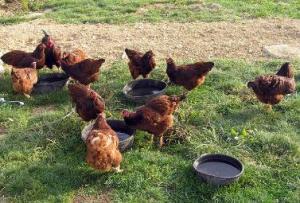 Laura Haggarty, Pathfinders Farm's Buckeye Chickens