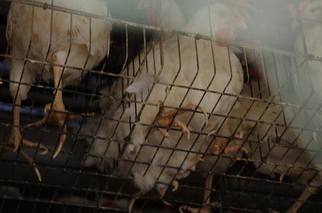 caged farm animals delving into politics of factory farmed chickens prop 2 urban