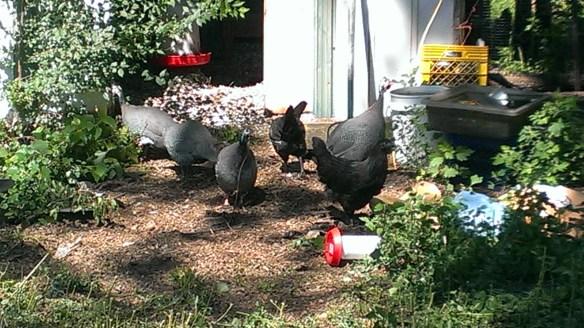 Growing Hope Volunteer, Donald Wilson's Backyard Flock in Michigan
