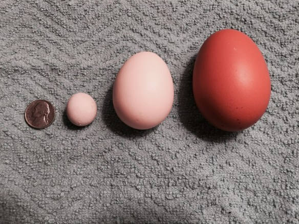 Fairy Egg, Regular Egg and DoubleYolker - photo by Jen Pitino