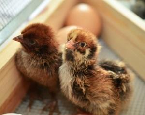 Pixabay chicks-1280749_1920