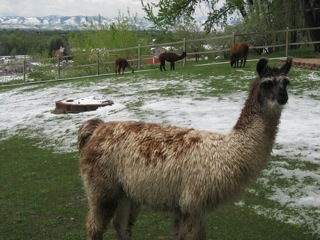 Llama Manure and Composting; video