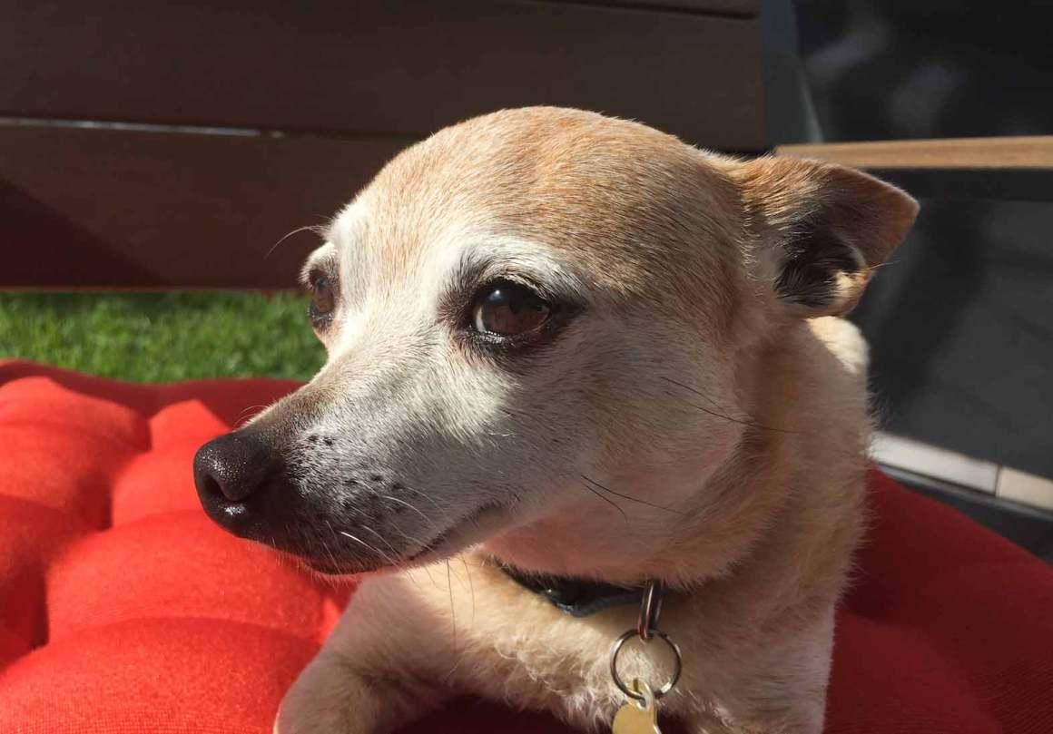 Paco the Chihuahua