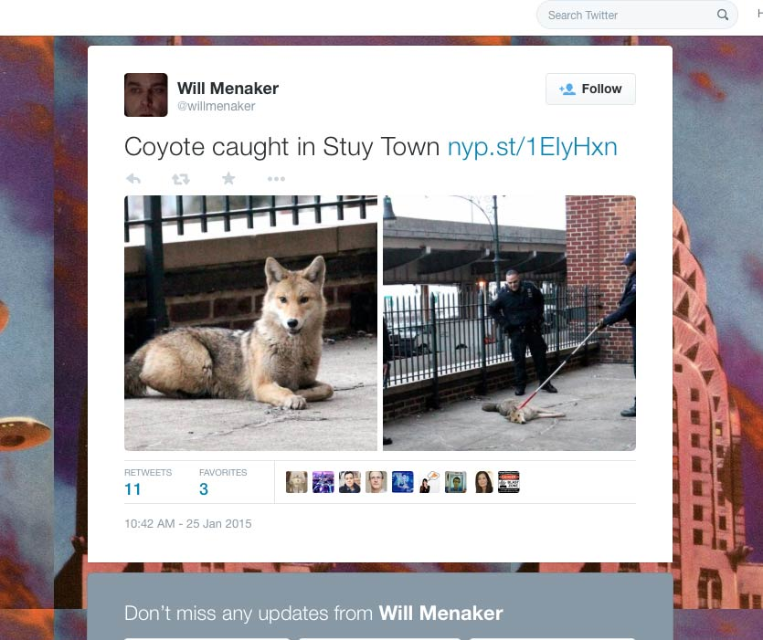 Stuyvesant Town Coyote