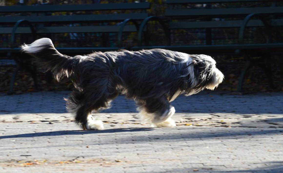 Bearded Collie Big Dogs