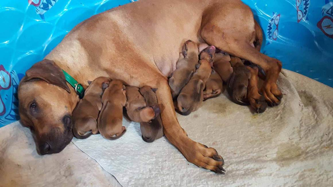 Rhodesian Ridgeback Mother and Puppies
