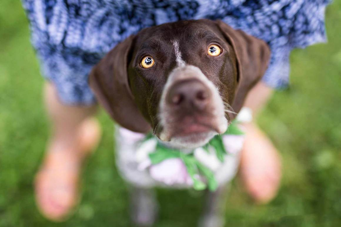 Abbie the German Shorthaired Pointer