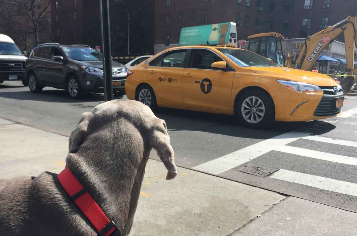 Pet Transportation NYC