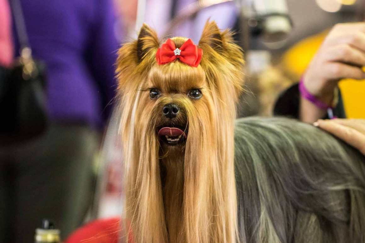 Westminster Dog Show Portraits