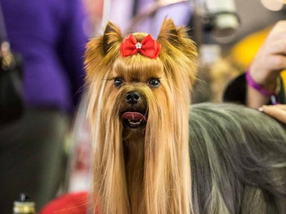 Westminster Dog Show Portraits