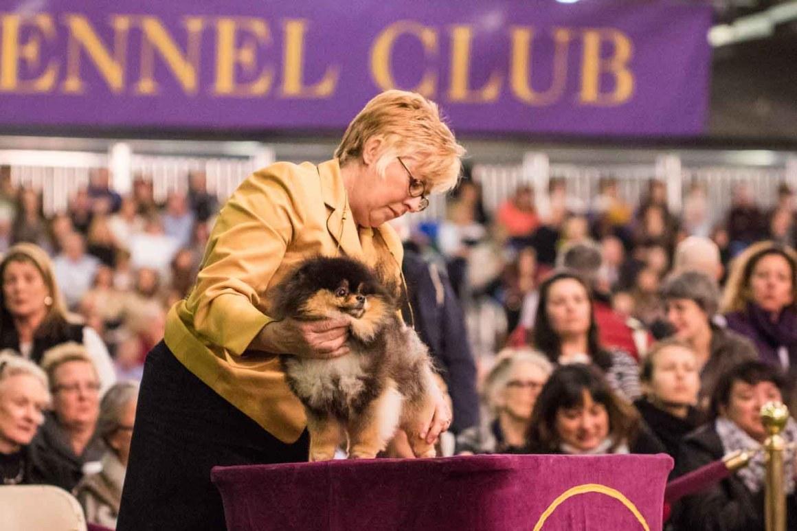 Pomeranian (Photo: Natalie Siebers)
