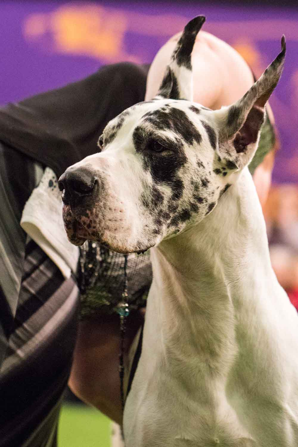 Great Dane (Photo: Natalie Siebers)