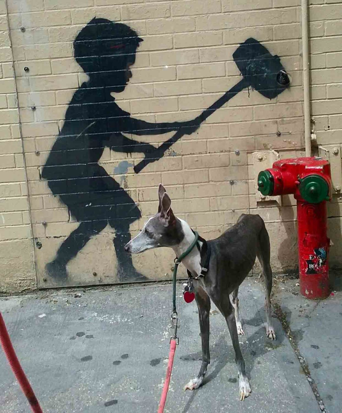 Italian Greyhound: Breed of the Week