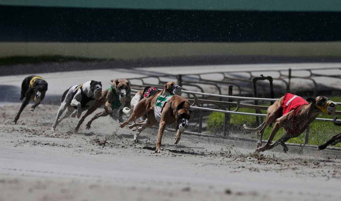 dog news Greyhounds-in-Florida
