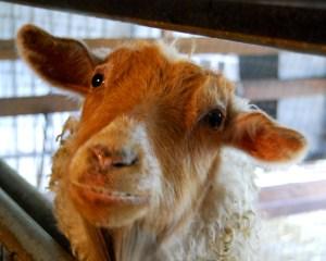 A friendly Pygora goat.