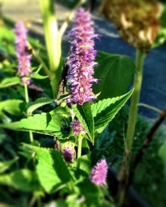 use of anise hyssop