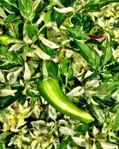 Peppers from the addiction treatment center