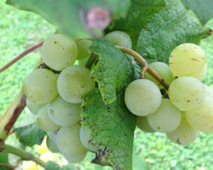Grapes growing at a garden at the Chemical Addictions Treatment Center.