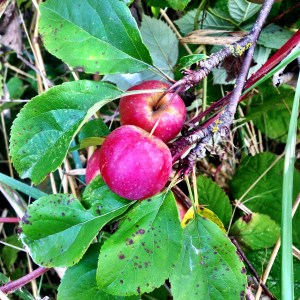There are lots of different kinds of apple trees