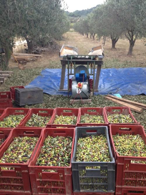 Olives ready for de-leafing