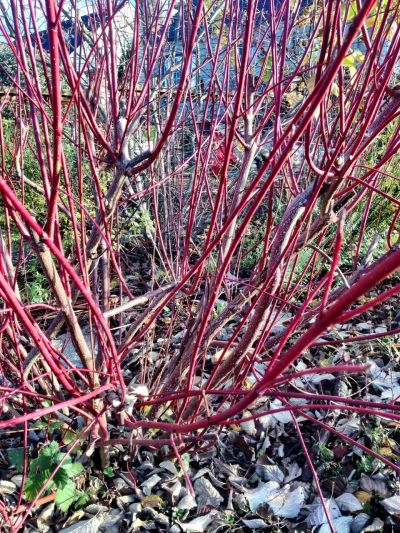 Cutting back the dogwood to its main stems last winter resulted in many long slender branches that will be perfect for basket making.