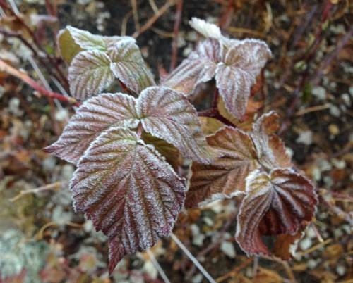 Raspberry leaves dusted with frost.