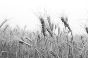 Much of the wheat has been harvested. Production is below normal due to the drought.