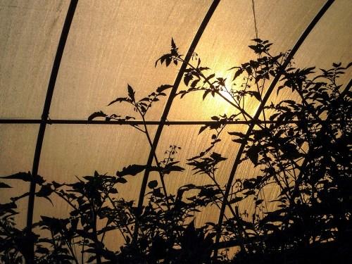 Sunrise in the hoop house.
