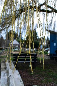 A weeping willow tree with perfect branches for baskets.