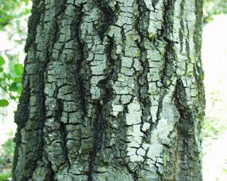 Coastal Live Oak  Tree Foundation of Kern About the Tree Foundation of Kern