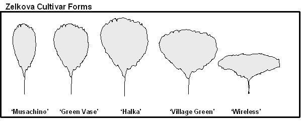 Tree Profile for the Japanese Zelkova