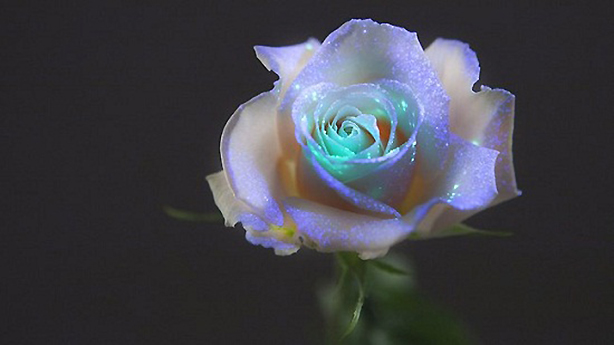 glow-in-dark-rose