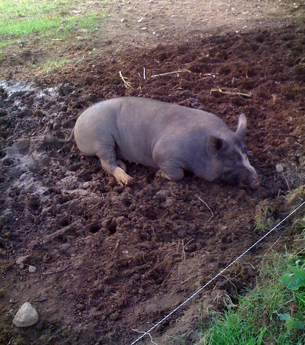 stone-barns-pig