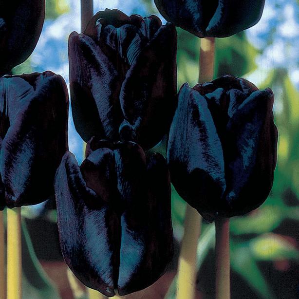 tulip-black-bulb