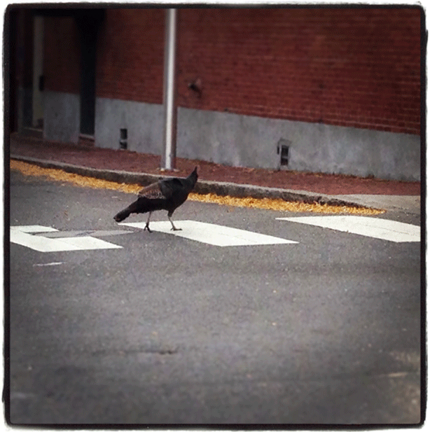 turkey_crossing-in-crosswalk-cambridge