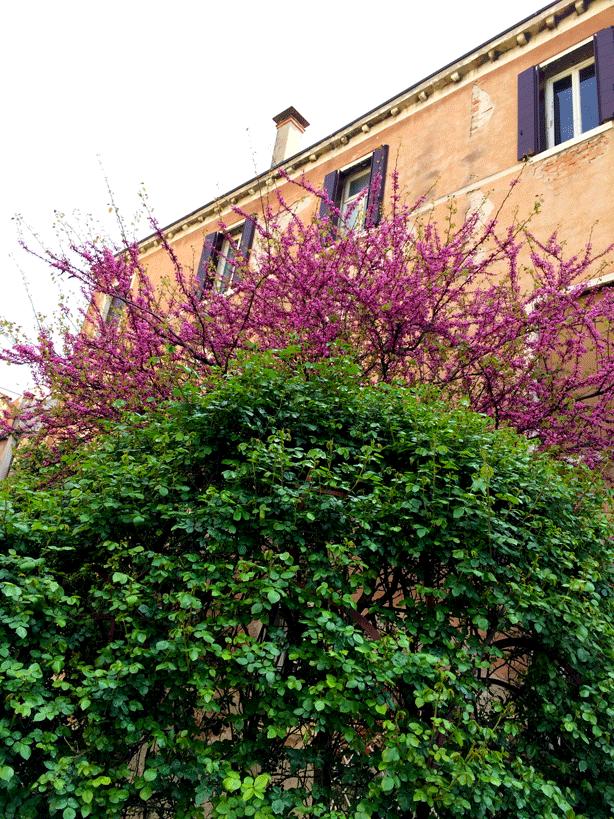 pallazzo-barnabo-wisteria-foliage-614