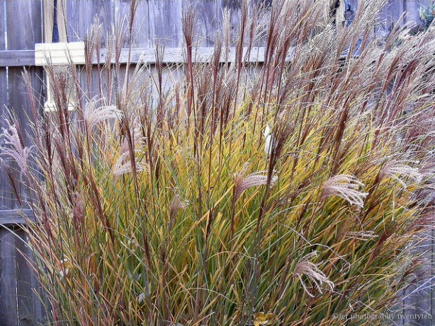 ornamental_grasses_JerPhoto_flickr