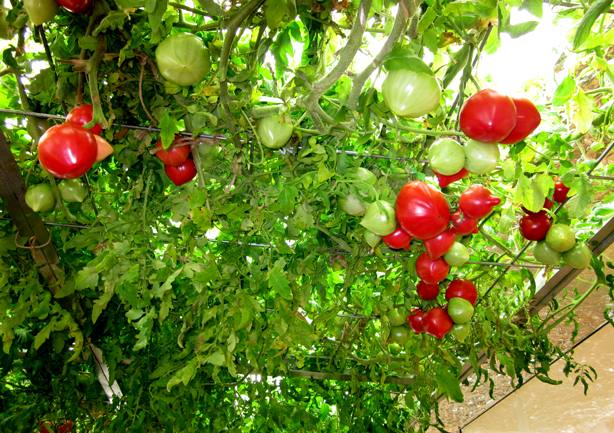 pasona-urban-underground-farm-tomatoes-urbangardensweb
