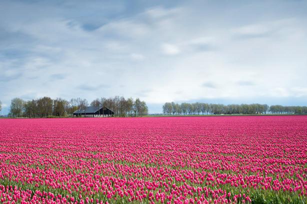 tulips-field_614