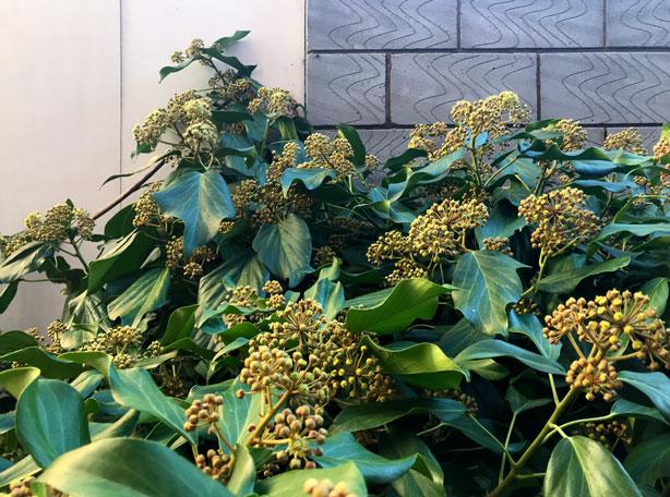 hydrangeas_London_secret_garden_urbangardensweb