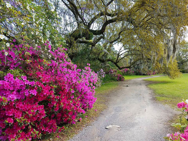 Magnolia Plantation and Gardens Azaleas in Bloom