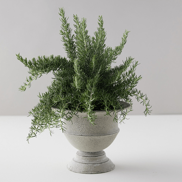 chef's rosemary plant in metal urn