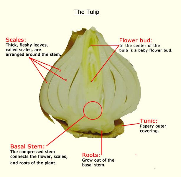 tulip bulb diagram