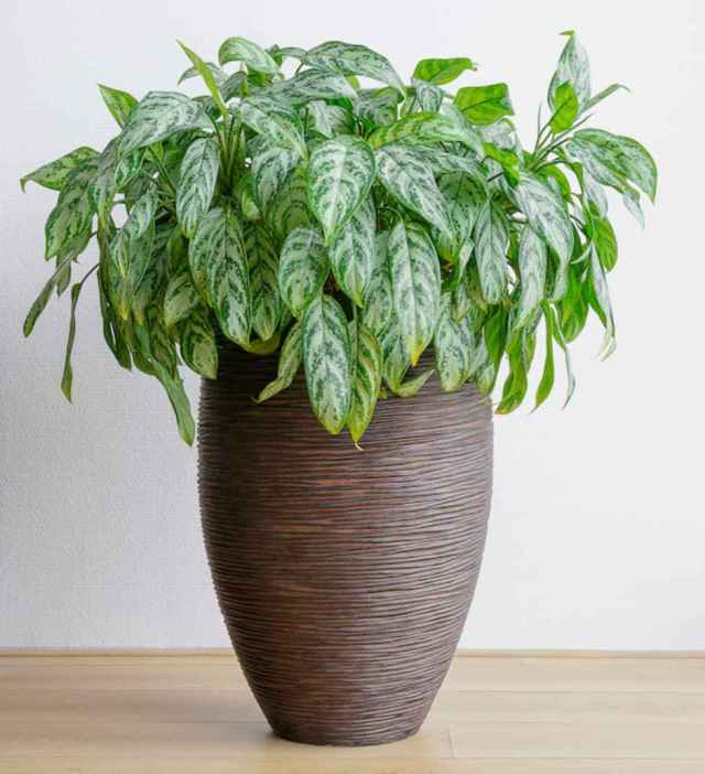 chinese evergreen aglaonema Low Light Loving Houseplants That Can Survive in Sun Deprived Homes