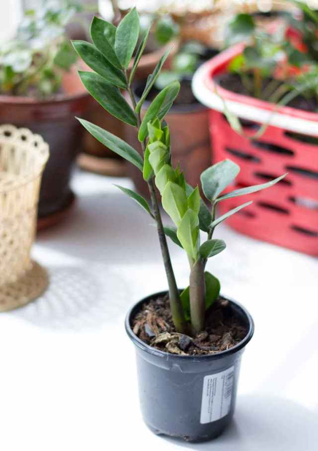 zz plant zamioculcas Low Light Loving Houseplants That Can Survive in Sun Deprived Homes